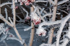 Guelder Rose and soft fluffy snow Stock Images