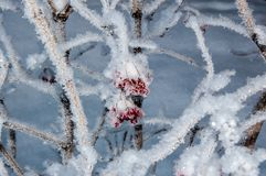 Guelder Rose and soft fluffy snow Stock Photography