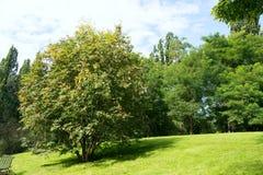 Guelder rose tree in botanical garden Stock Photo
