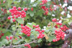 Guelder rose. Tree leaves leafy berries nature red life forest beauty color stock photo