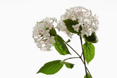 Guelder Rose, Twig with blossoms Royalty Free Stock Photography