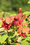 Guelder rose under the sun Royalty Free Stock Photos
