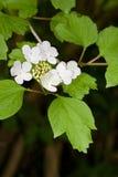 Guelder Rose. Viburnum opulus Stock Images