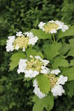 Guelder Rose (Viburnum opulus). Flowering shrub Viburnum (Guelder Rose) close-up Stock Image
