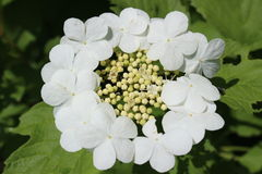 Guelder Rose (Viburnum opulus) Royalty Free Stock Photo
