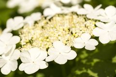 Guelder rose Viburnum opulus, beautiful white flowers on natural green background stock photos