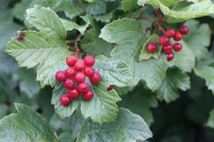 Guelder rose, Viburnum opulus Stock Photos