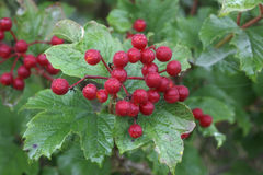 Guelder rose, Viburnum opulus Royalty Free Stock Photo