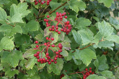 Guelder rose, Viburnum opulus Stock Photo