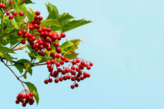 Guelder rose (Viburnum opulus) berries. Against blue sky background stock photos