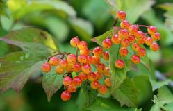 Guelder Rose (Viburnum Opulus) Berries In British Hedgerow Royalty Free Stock Image