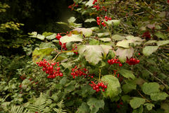 Guelder rose, Viburnum opulus Royalty Free Stock Images