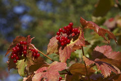 Guelder Rose Stock Image