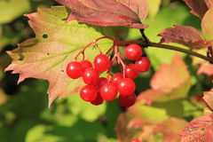 Guelder-rose Stock Images