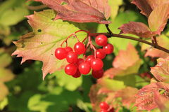 Guelder-rose Stock Photos