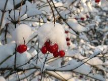 Guelder-s'est levé dans une neige Photographie stock