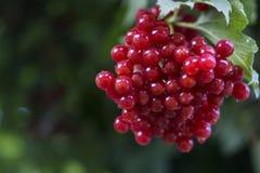guelder wzrastał, czerwone jagody, zakończenie obrazy royalty free