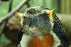 guenon猴子s狼 库存照片