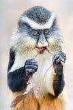 Guenon волка Стоковые Фото