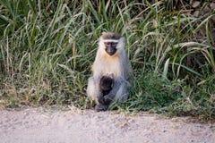 Guenon со своим младенцем Стоковая Фотография