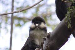 施密特的地点被引导的guenon (长尾猴属ascanius schmidti) 库存照片