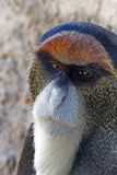 Guenon Stock Images