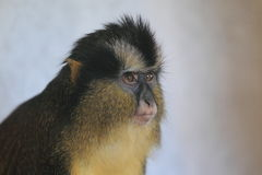 Guenon coronado fotografía de archivo libre de regalías