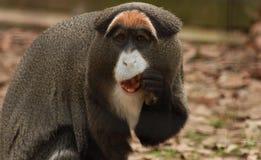 Guenon Eating Royalty Free Stock Image