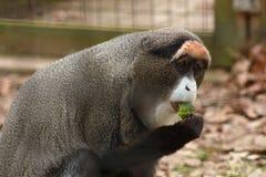 Guenon Stock Photo