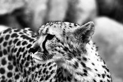 Guepardo Imágenes de archivo libres de regalías