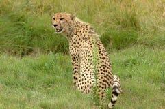 Guepardo africano Fotos de archivo
