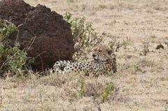 Guepardo africano fotografía de archivo