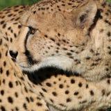 Guepardo africano Foto de archivo