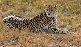 Guepardo africano que descansa en naturaleza Foto de archivo libre de regalías