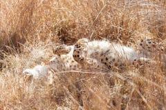 Guepardo africano que miente en hierba larga imágenes de archivo libres de regalías