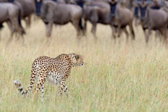 Guepardo africano salvaje Foto de archivo libre de regalías