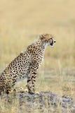 Guepardo africano salvaje Imagen de archivo libre de regalías