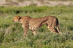 Guepardo alerta en la caza foto de archivo