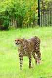 Guepardo, animales amistosos en el parque zoológico de Praga Imágenes de archivo libres de regalías