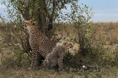 Guepardo con los cachorros en el Masai Mara Imágenes de archivo libres de regalías