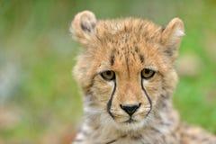 Guepardo Cub Fotografía de archivo