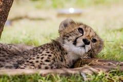 Guepardo Cub s Fotos de archivo