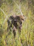 Guepardo Cub s Fotografía de archivo