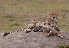Guepardo Cub y madre, reclinándose Fotos de archivo libres de regalías