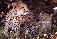 Guepardo de la hembra y del bebé, llano de Serengeti, Tanzania Fotografía de archivo libre de regalías