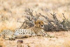 Guepardo de mentira en el solitario, Namibia Imágenes de archivo libres de regalías