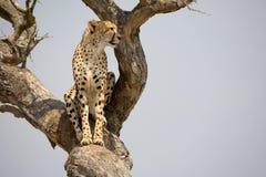 Guepardo en árbol Foto de archivo libre de regalías