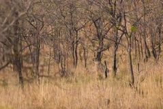 Guepardo en bosque de la sabana Foto de archivo