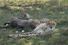 Guepardo en el Masai Mara Fotografía de archivo