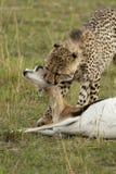 Guepardo en el Masai Mara Foto de archivo